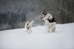 Running dogs. In a winter landscape royalty free stock image