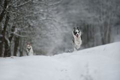 Running dogs. In a winter landscape royalty free stock photography