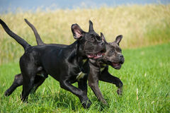 Running dogs. Young cane corso dogs running on a meadow stock photography