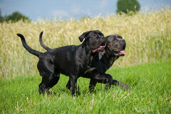 Running dogs. Young cane corso dogs running on a meadow royalty free stock photography