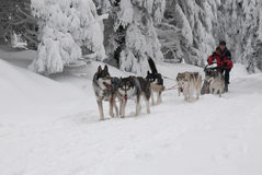 Running dogsled of the siberian huskies Royalty Free Stock Images