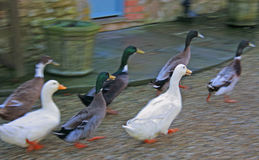 Running Ducks Stock Image