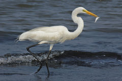 Running Egret with fish Royalty Free Stock Photo