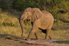 Running elephant Royalty Free Stock Image