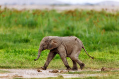 Running Elephant calf. In the swamp of Amboseli National Park in Kenya royalty free stock photos