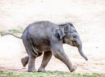 Running elephant calf. A very young baby of Asian elephant running Stock Images