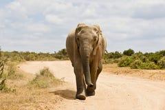 Running elephant Royalty Free Stock Photo