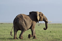 Running elephant showing tusks Stock Photography