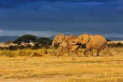 Running Elephants Stock Photos