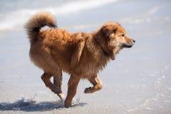 Running Elo puppy Stock Photo