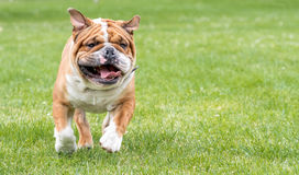 Running English bulldog. Blurred motion of running English bulldog Royalty Free Stock Image