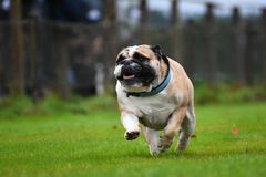 Running English Bulldog Royalty Free Stock Image