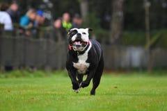Running English Bulldog Stock Images