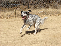 Running English Setter. English Setter on the run Stock Images