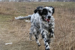 Running an English Setter. Siberia. Russia Stock Photography