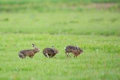 Running European Hares Royalty Free Stock Photo