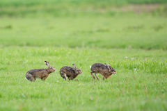 Running European hares. In spring season in the meadows Royalty Free Stock Photo
