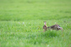 Running European hares. In spring season in the meadows Royalty Free Stock Photography