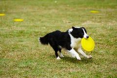 running för hund för kantcollie Royaltyfri Bild