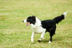 running för hund för kantcollie Fotografering för Bildbyråer