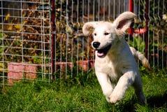 running för retriever för hundöron diskett guld- Royaltyfri Fotografi