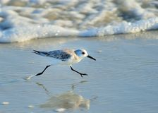Running Fast. Sanderling running with the waves Stock Photography