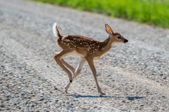 Running Fawn. A fawn running across the road Stock Photography