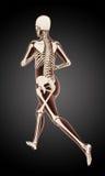 Running female medical skeleton. 3D render of a female medical skeleton running Royalty Free Stock Photos
