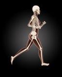 Running female medical skeleton. 3D render of a running female medical skeleton Royalty Free Stock Images