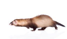 Running ferret. isolated on white background stock photography