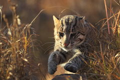 Running fishing cat Stock Images
