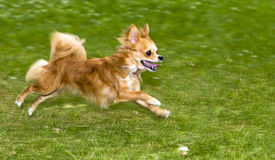 Running flame-red chihuahua Royalty Free Stock Image