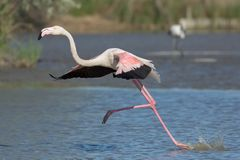 Running flamingo landing in the water Royalty Free Stock Images