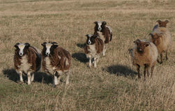 A running flock of Jacob and Manx Loaghtan Sheep. Royalty Free Stock Photography