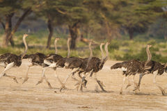 Running flock of ostriches in Africa Stock Photos