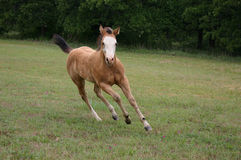 Running Foal. American Paint Horse, buckskin overo colt, galloping downhill on grassy slope with tail flying in the wind Stock Photos
