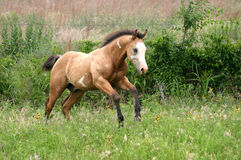 Running Foal. Buckskin paint colt galloping in lush green summer pasture with fence and bushes in background Stock Photography