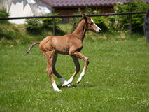Running foal Royalty Free Stock Images