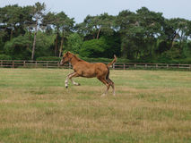 Running Foal Royalty Free Stock Image