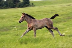 Running foal Royalty Free Stock Photo