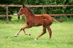 Running Foal. Beautiful foal running in pasture stock photography