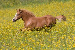 Running foal on meadow Stock Image