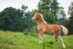 The running foal. The foal is running on the meadow in summer Royalty Free Stock Photography
