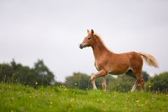 The running foal. The foal is running on the meadow in summer stock images