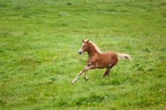 The running foal. The foal is running on the meadow in summer royalty free stock image