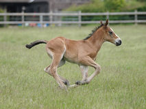 Running Foal Royalty Free Stock Photos