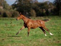 Running Foal. A pretty foal gallops through a paddock Royalty Free Stock Photos