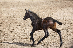 The running foal. Young foal running on the meadow at spring time stock photo