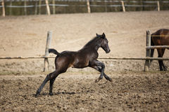 The running foal. Young foal running on the meadow at spring time Royalty Free Stock Photo