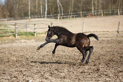 The running foal. Young foal running on the meadow at spring time Stock Images